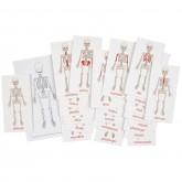 Bones of the Child's Skeleton